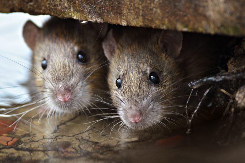 problème de rats à montréal_exterminateurs associés