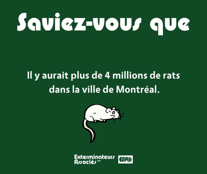 infographie sur les rats à Montréal