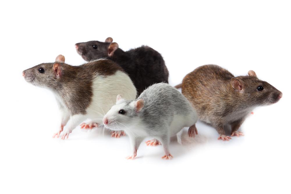comment détecter un problème de souris et rats, Exterminateurs Associés, photo