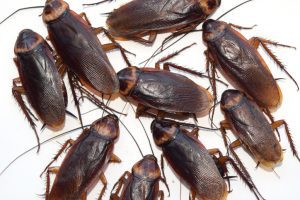 extermination coquerelles montréal, Exterminateurs Associés, photo