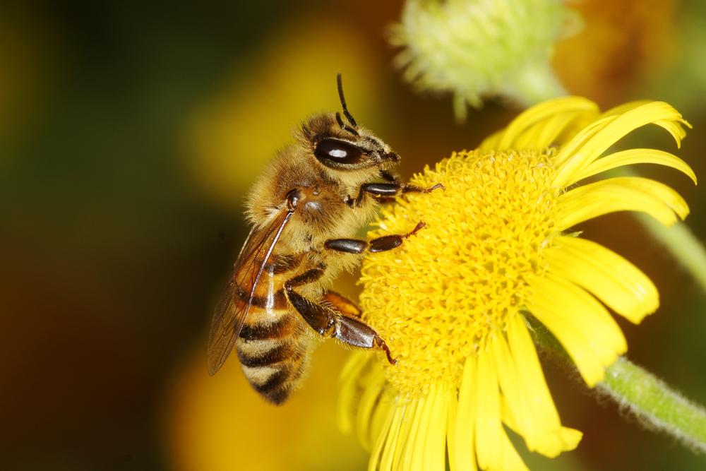 pourquoi les abeilles meurent après avoir piqué, Exterminateurs Associés, photo