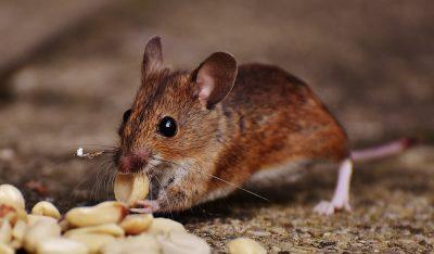 Exterminateur souris montreal