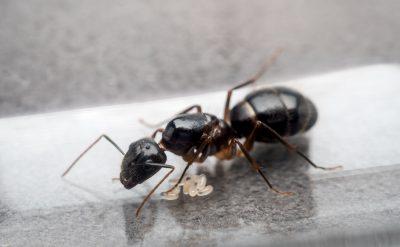 Reine fourmis charpentières