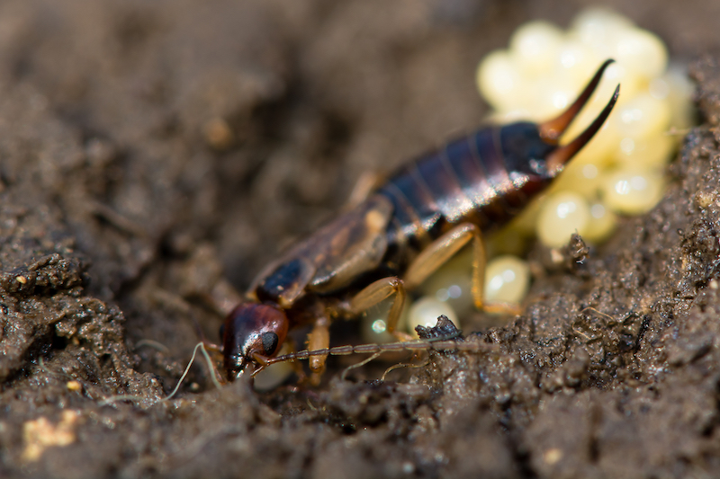 earwig, parasite management in Montreal