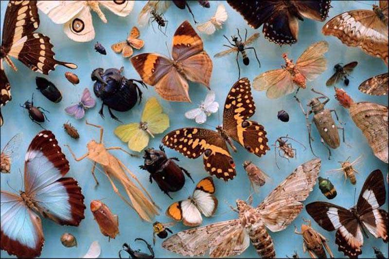 collection d'insectes, prévention d'infestation de dermeste du lard