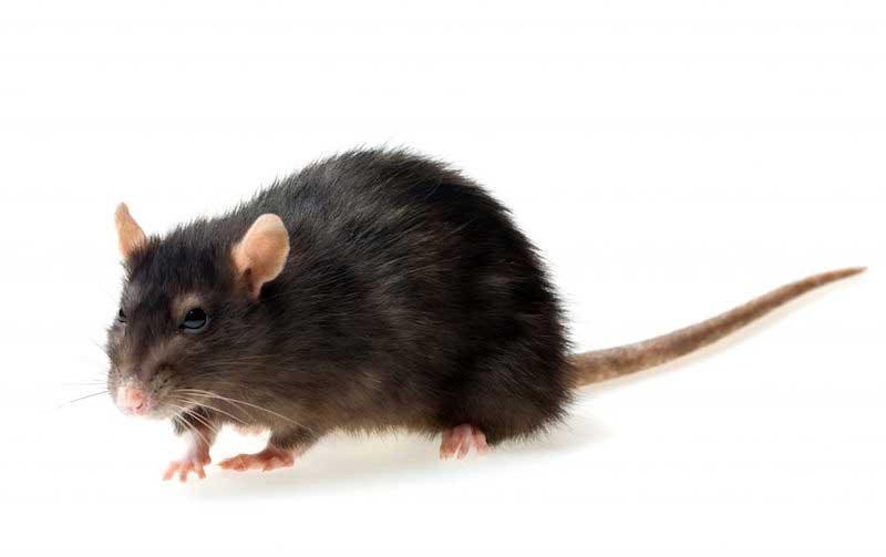 Black rat extermination