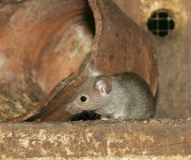 Extermination de souris sylvestre